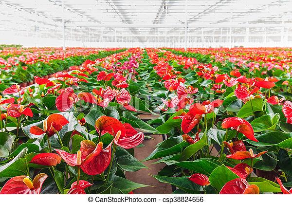 Anthurium plants in a greenhouse. Rows of blooming anthurium plants on anthurium anceps, anthurium albovirescens, anthurium sect. digitinervium, anthurium atroviride, anthurium albidum, anthurium aristatum, zantedeschia aethiopica, anthurium angustilaminatum, anthurium albispatha,