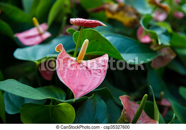 Anthuriumflamingo flowers pink color in my garden stock anthuriumflamingo flowers pink color in my garden csp35327600 mightylinksfo Images