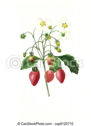 Antiquite Fleur Illustration Fraisier Antiquite Flowers 1840