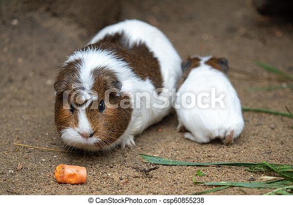 aperea, guiné, come, porca, porcellus), cenoura, (cavia, f. - csp60855238