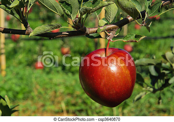 apfel am baum apple on tree 136 stock photography search pictures and photo clipart csp3640870. Black Bedroom Furniture Sets. Home Design Ideas