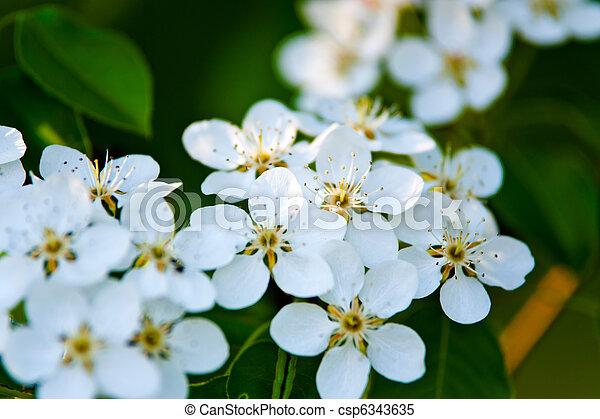 Apfelblüte, blätter, baum, grüner hintergrund, weisse blumen.