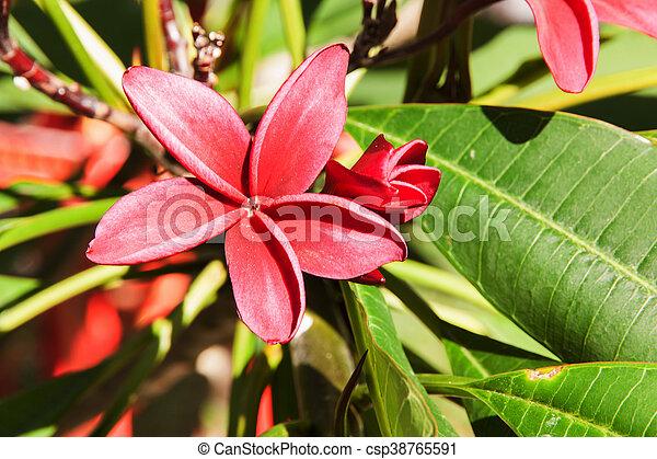 Apocynaceae red flower - csp38765591