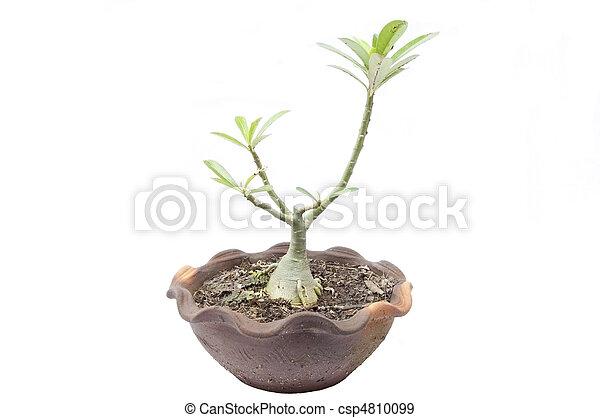 Apocynaceae tree 3 - csp4810099