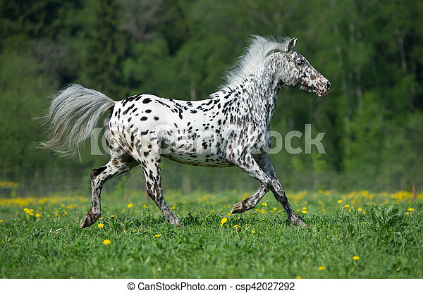 appaloosa horse runs gallop on the meadow in summer time appaloosa