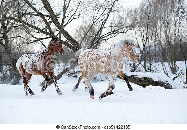 two appaloosa horses running gallop in winter forest