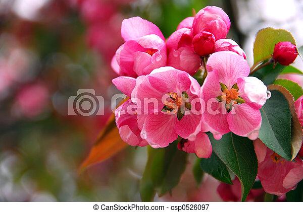 Apple blossom - csp0526097