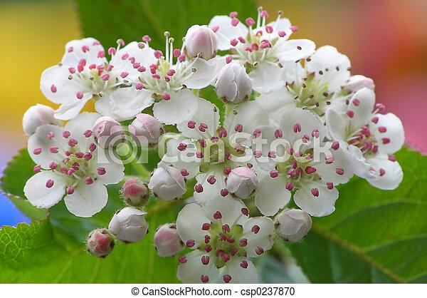 Apple blossom  - csp0237870