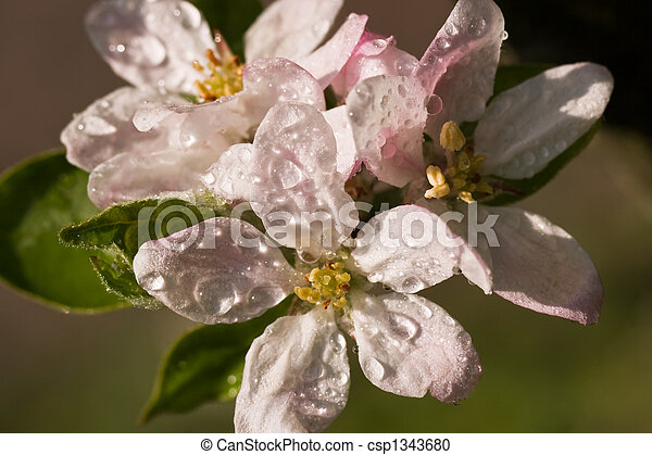Apple blossom - csp1343680