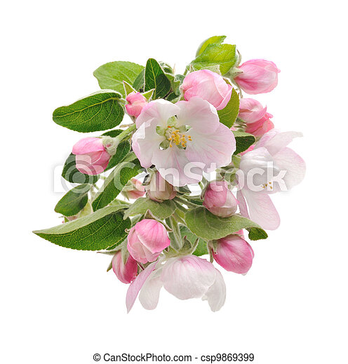 Apple Blossoms. - csp9869399