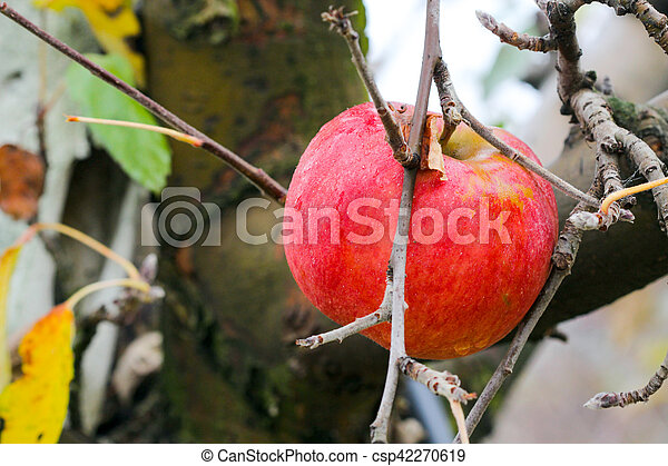 apple forgotten in a harvest , Apple Orchard in november - csp42270619