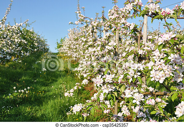 Apple garden blossom stock images - Search Stock Photos, Photographs ...