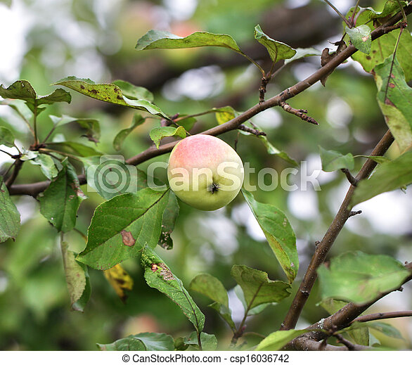 Apple hanging on a tree branch - csp16036742