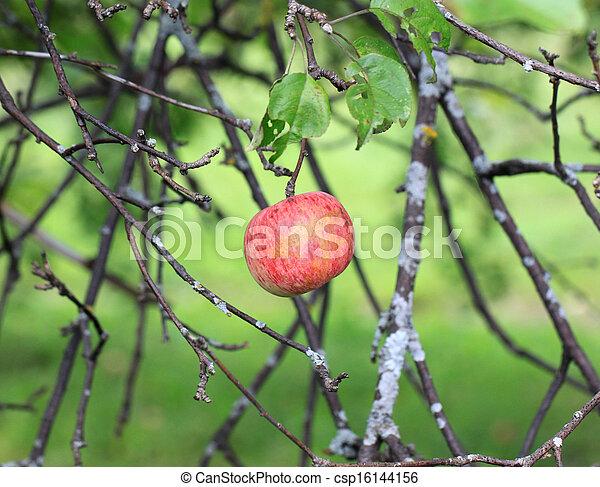 Apple hanging on a tree - csp16144156