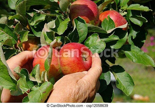 apple harvest 03 - csp12058639