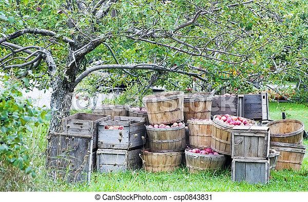 Apple harvest - csp0843831