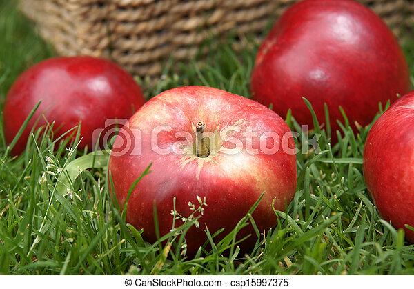 Apple harvest - csp15997375
