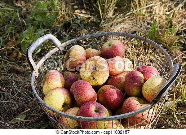apple harvest - csp11032187