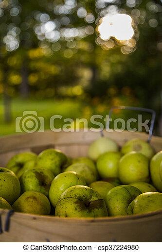 Apple Harvest - csp37224980