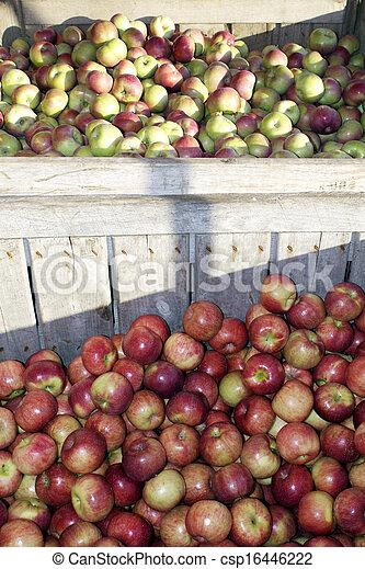 Apple Harvest - csp16446222