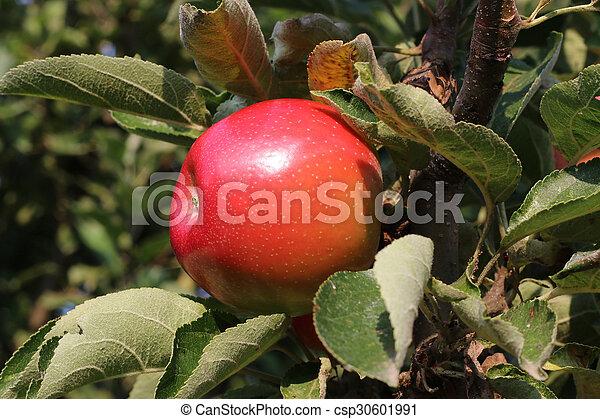 apple harvest - csp30601991