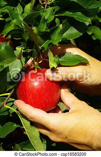apple harvest - csp16583200