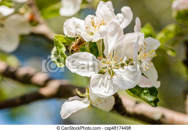 Apple Tree Bloomed White Flowers Bees Pollinate The Apple Tree