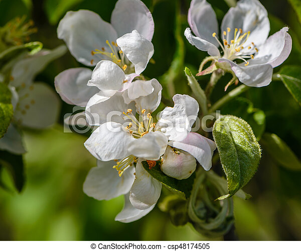 Apple Tree Bloomed White Flowers The Apple Tree Bloomed With