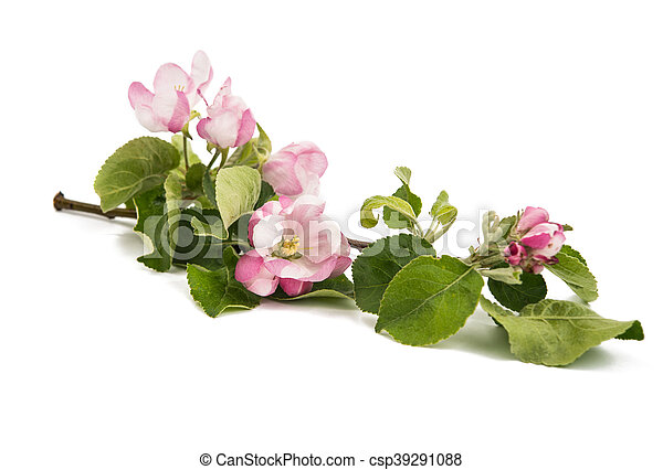apple tree branch with flowers - csp39291088