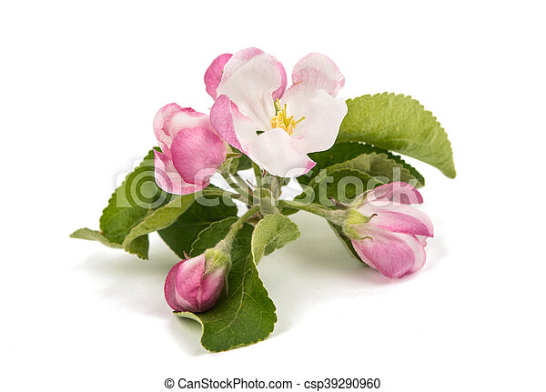 apple tree branch with flowers - csp39290960