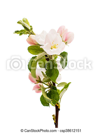apple tree branch with flowers - csp38612151