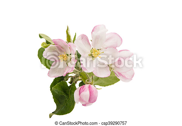 apple tree branch with flowers - csp39290757