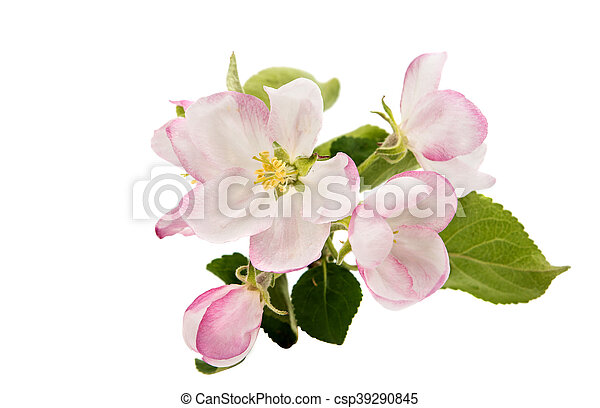 apple tree branch with flowers - csp39290845