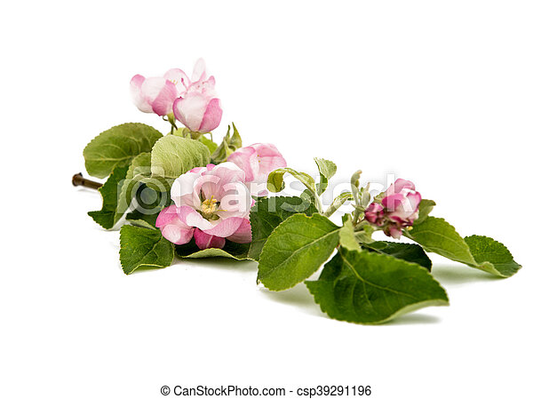 apple tree branch with flowers - csp39291196