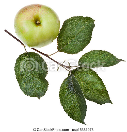 apple tree branch with green leaves - csp15381978