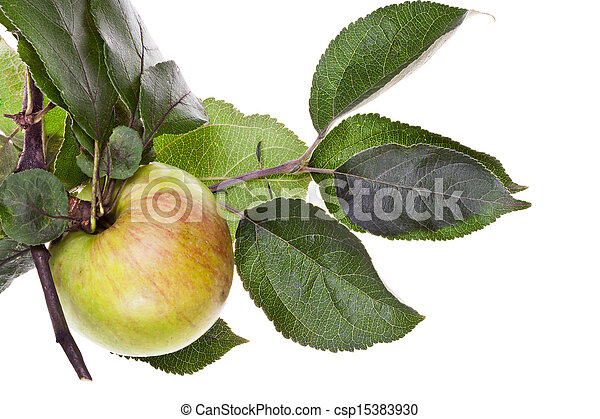 apple tree branch with green leaves - csp15383930