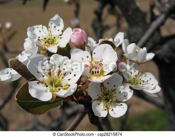 Apple tree branches with blossoms - csp28215874