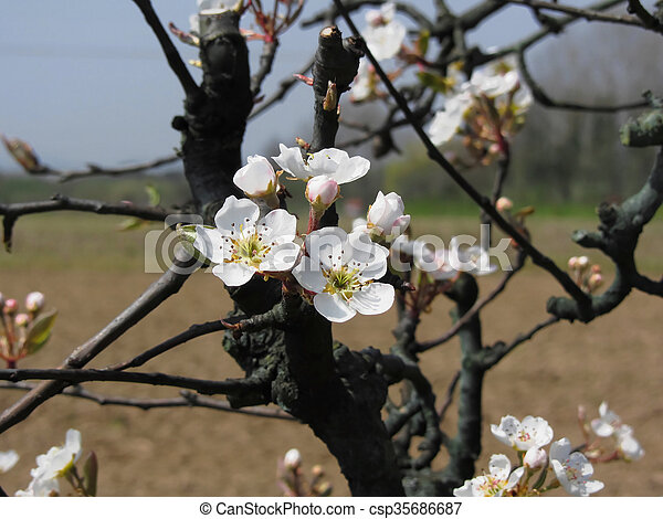 Apple tree branches with blossoms - csp35686687