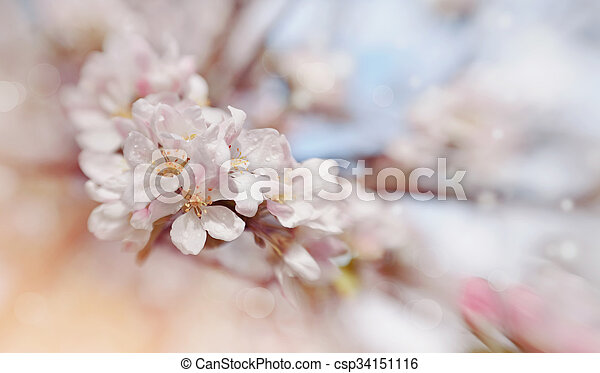 Apple-tree flowers in the spring - csp34151116