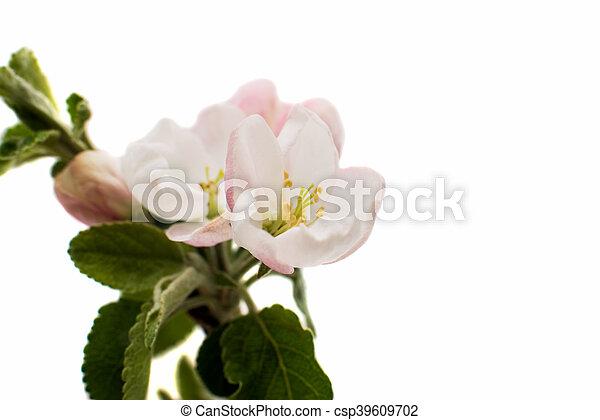 apple-tree flowers - csp39609702