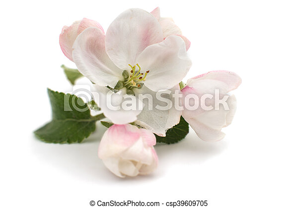 apple-tree flowers - csp39609705