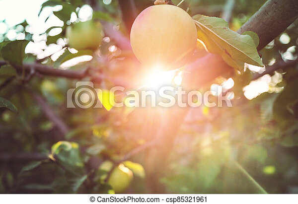 Apple tree - csp85321961