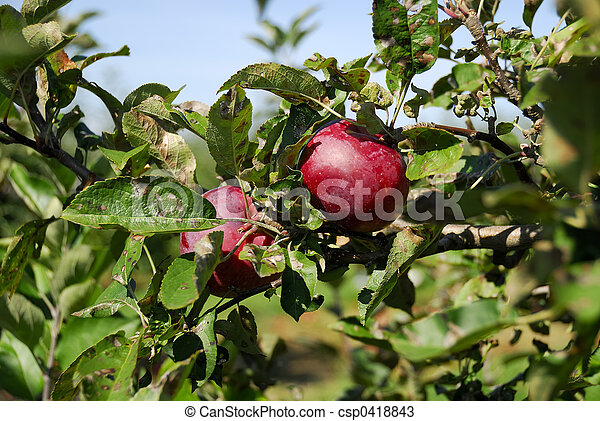 Apple Tree - csp0418843