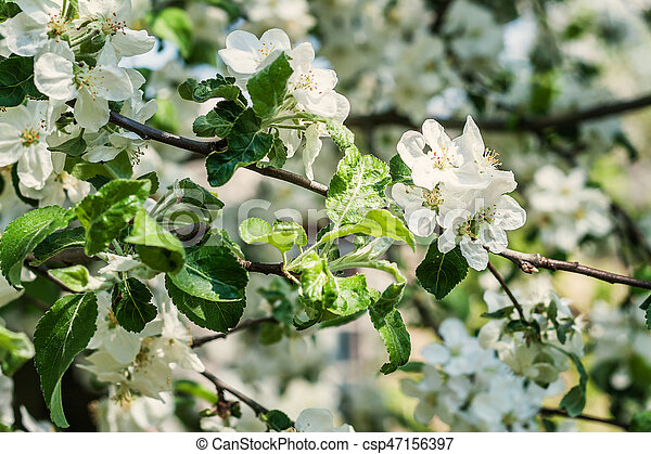 Apple tree with blossoming white flowers on a sunny day - csp47156397