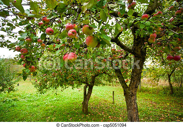 Apple trees with red apples - csp5051094