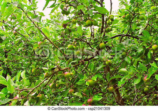Apple trees with ripening apples in an apple garden stock ...