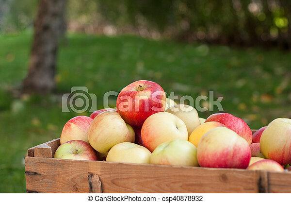 Apples in a garden - csp40878932