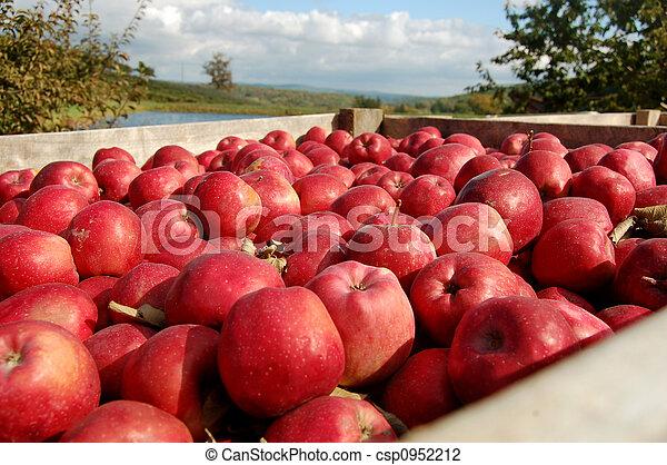 Apples in crate - csp0952212