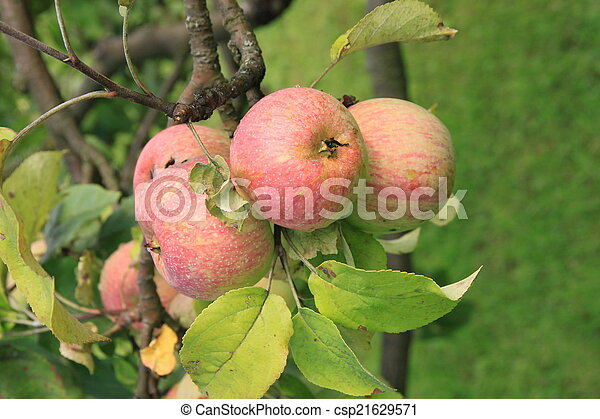 Apples on the tree - csp21629571