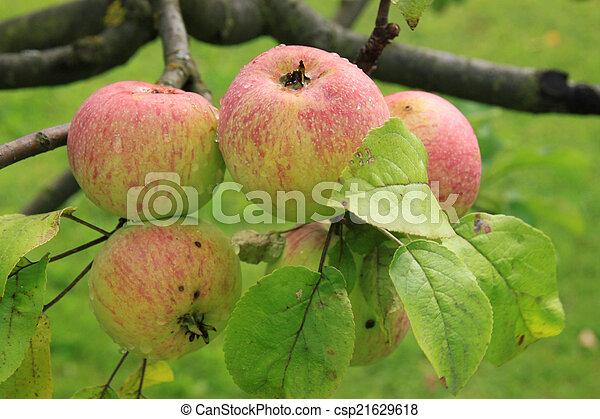 Apples on the tree - csp21629618